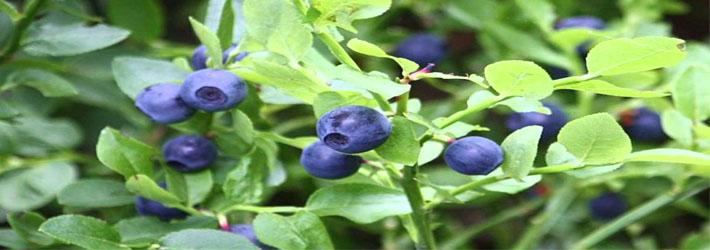 Afine (Vaccinium myrtillus)