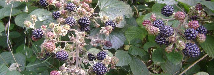 Murul (Rubus fructicosus)