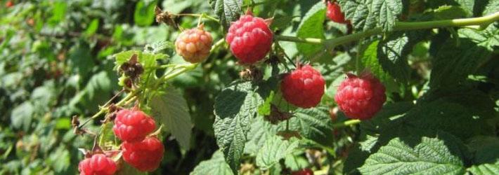 Zmeurul (Rubus idaeus)
